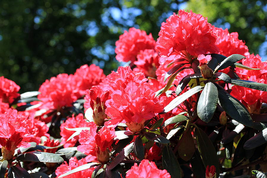 roter_rhododendron