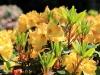 gelber_rhododendron