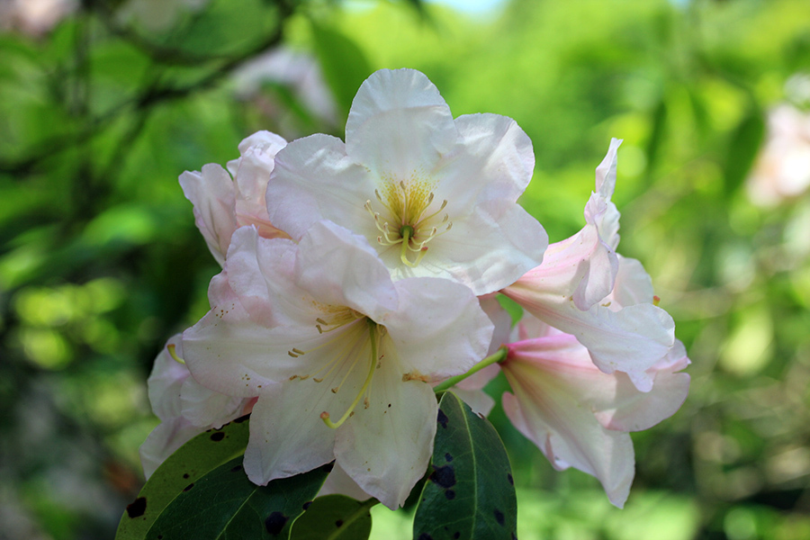 weißer-rhododendron2