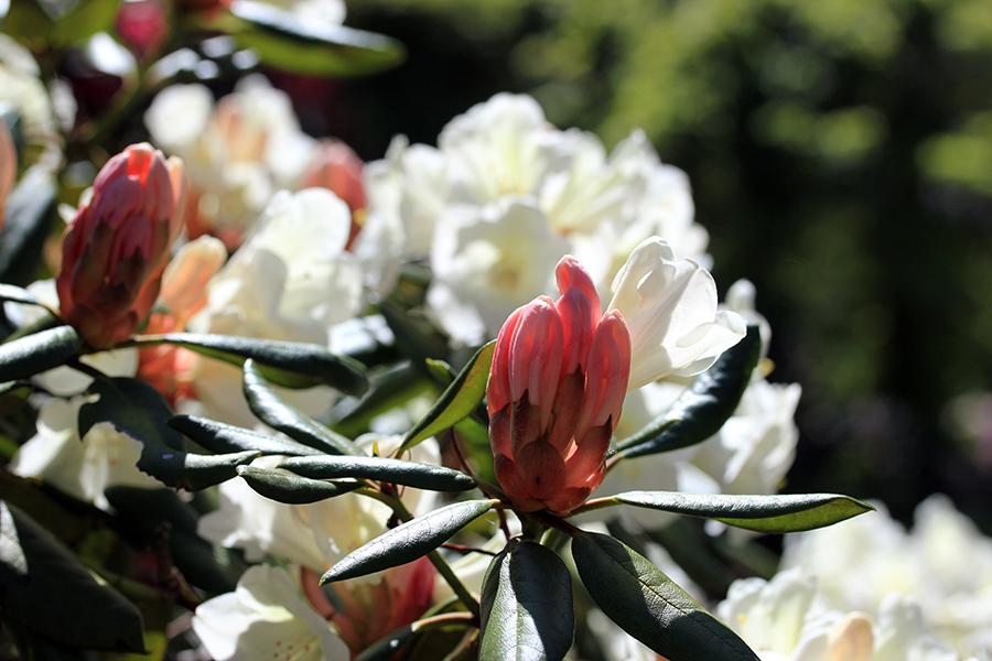 weier_rhododendron