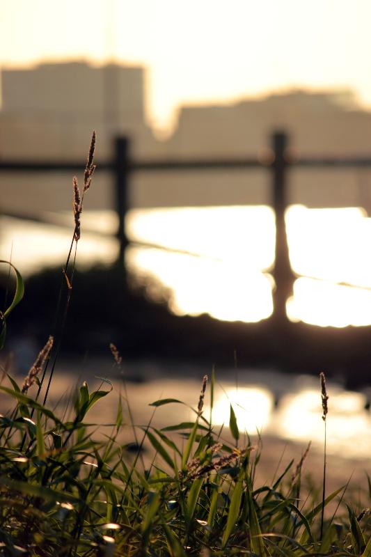 Schilf bei Sonnenuntergang