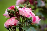 Davinci Rose