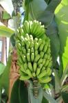 Bananenpflanze