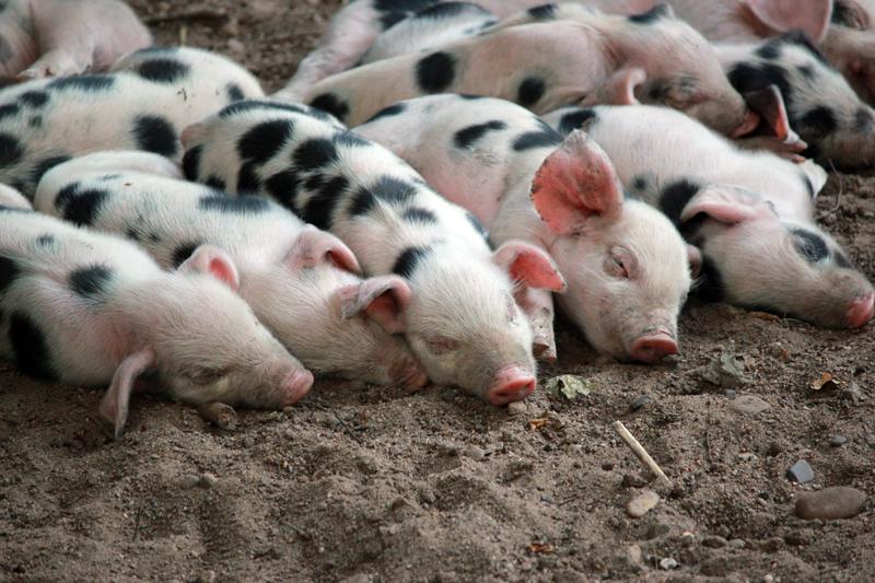 schweinchen1