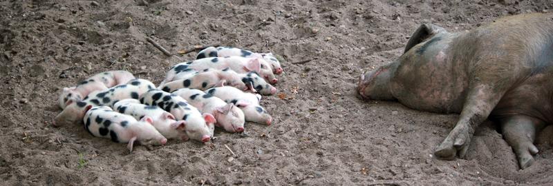Schweinchen mit Mutterschwein