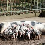 Baby Schweinchen im Bürgerpark