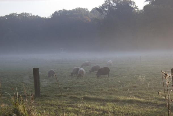 schafe-nebel