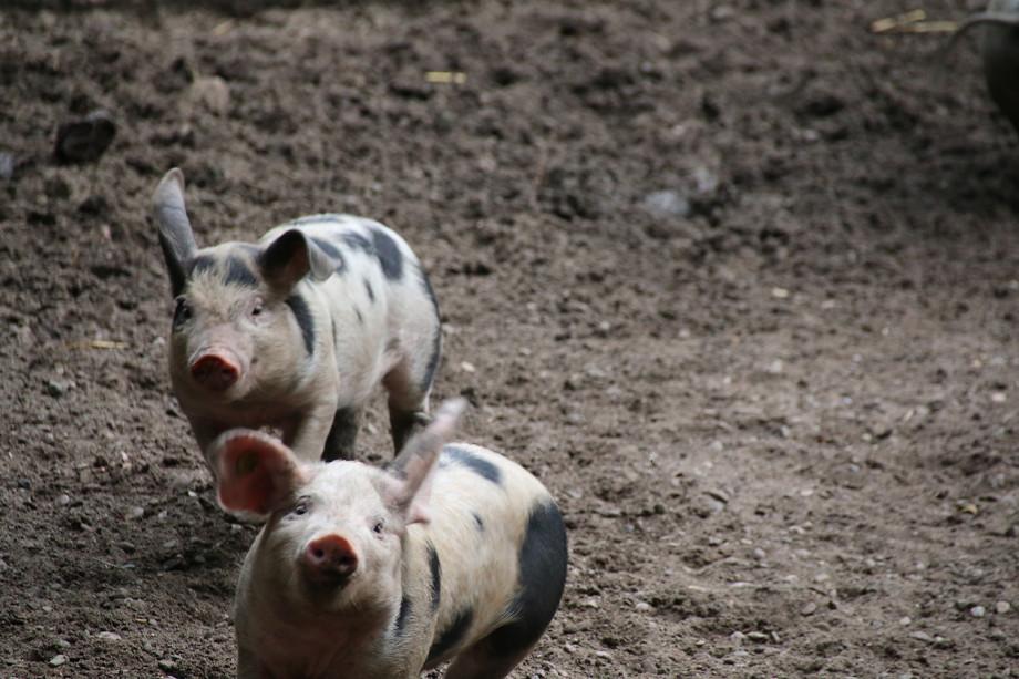 topende Schweinchen