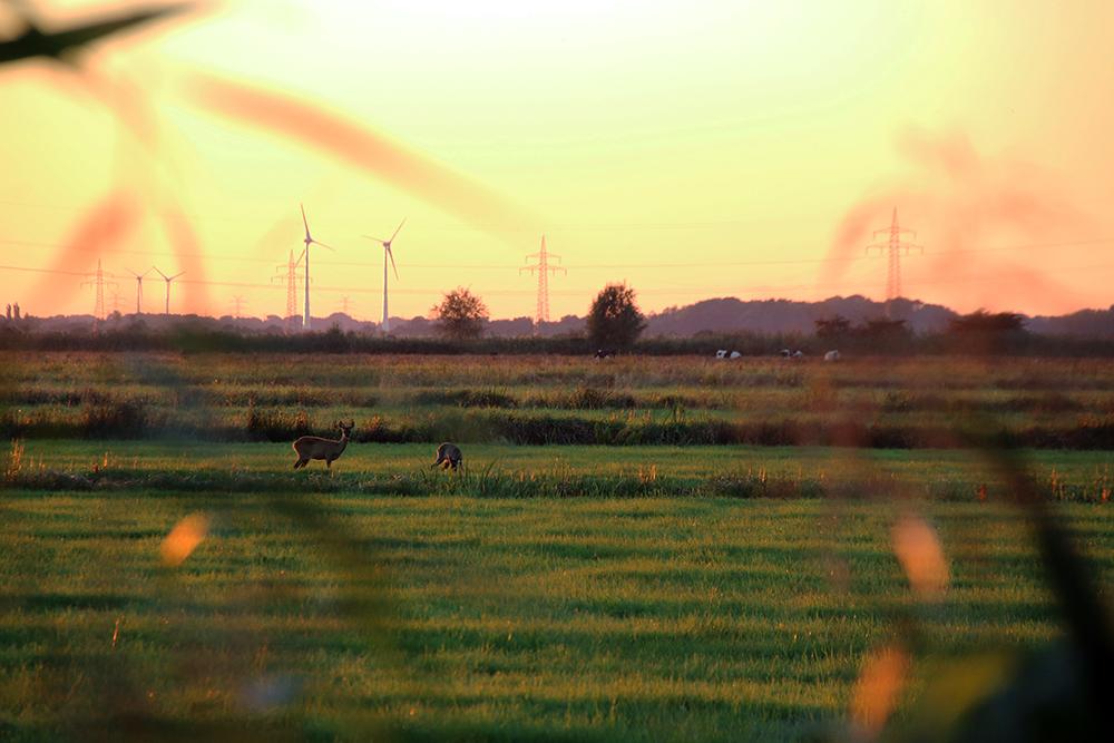Reh Abendsonne