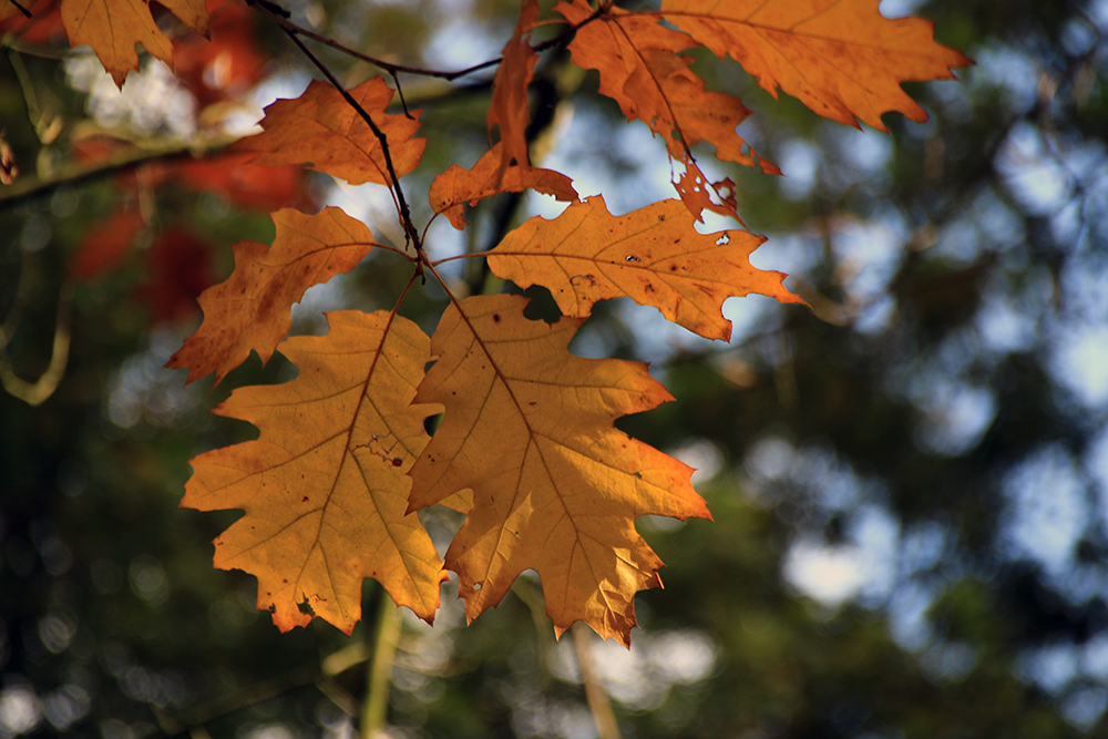 goldene Blätter