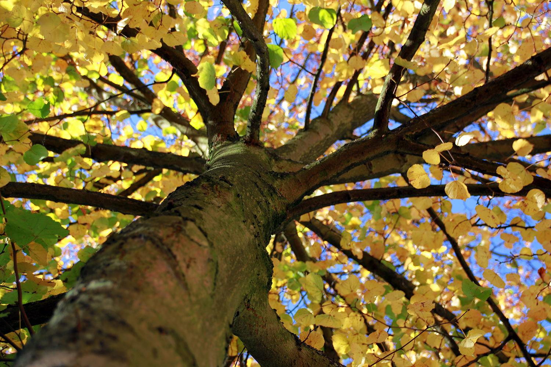 Baum mit gelben Herbstblättern