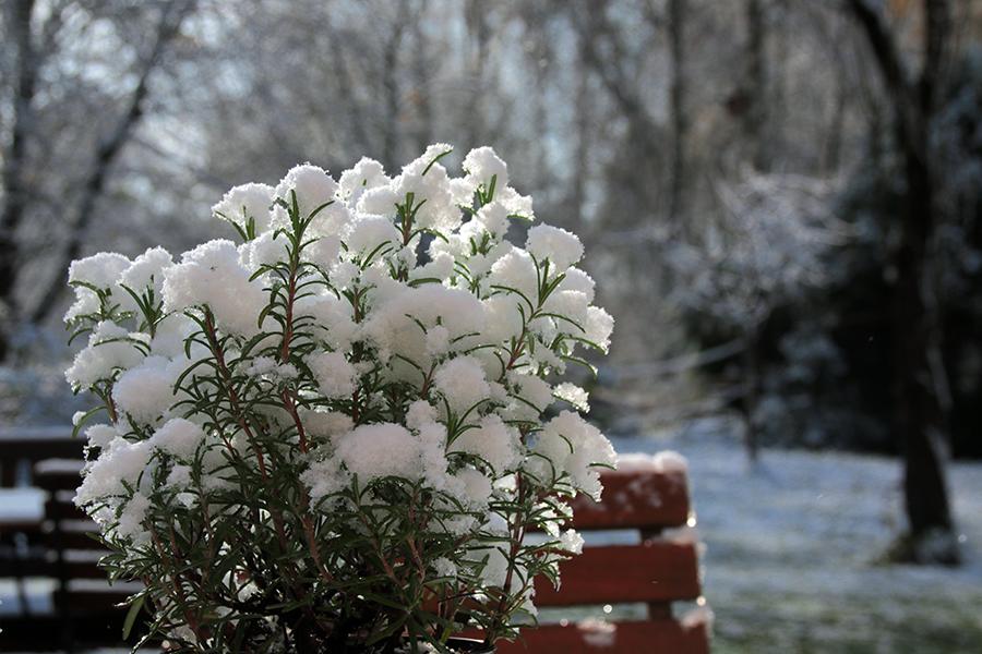 gewächs-schnee