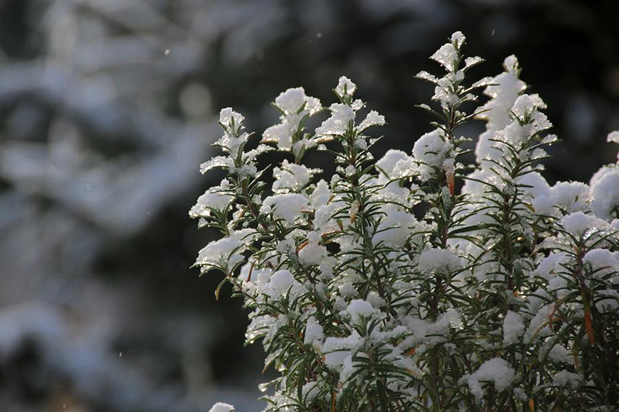schneebedeckter-busch