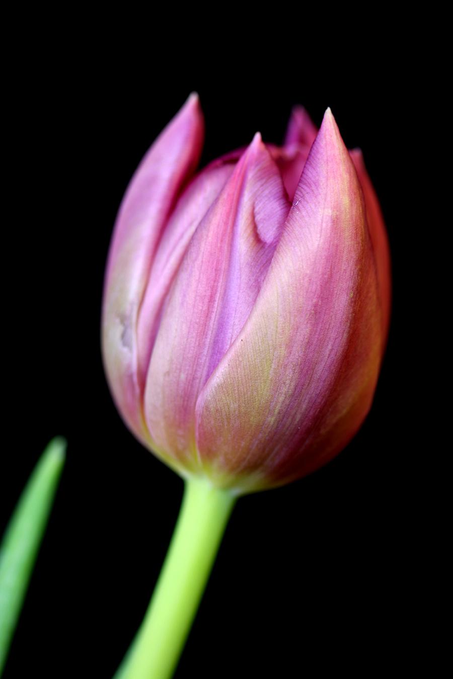tulpe, schwarzer Hintergrund