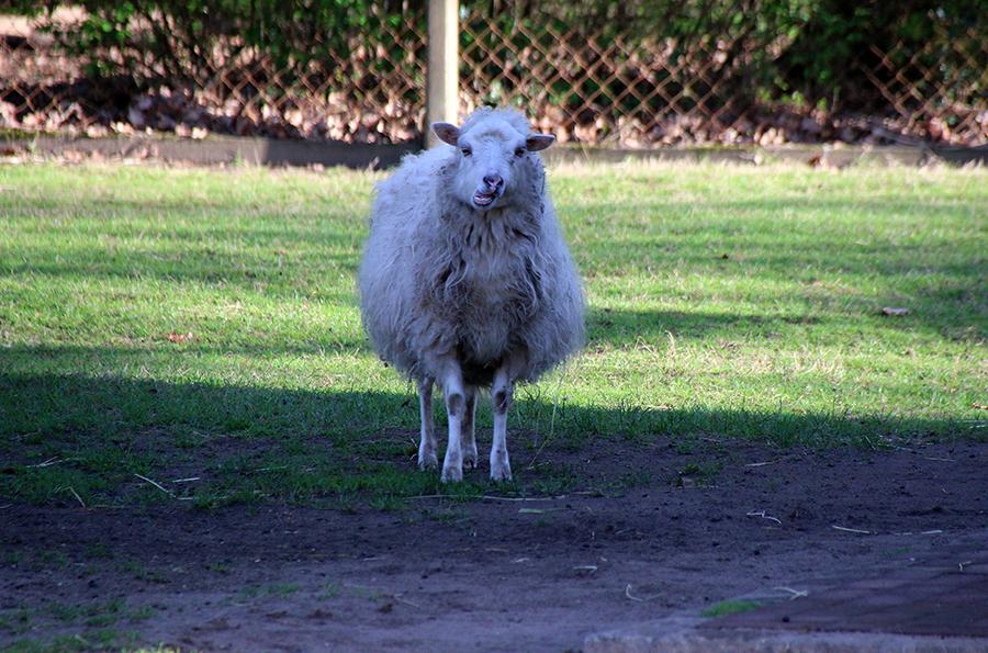 schräges Schaf