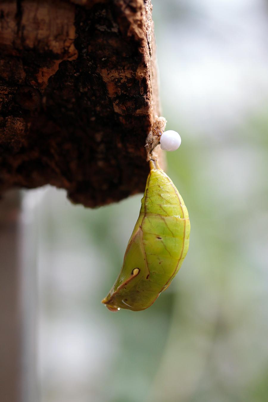Schmetterlingsraupe in der Botanika Bremen