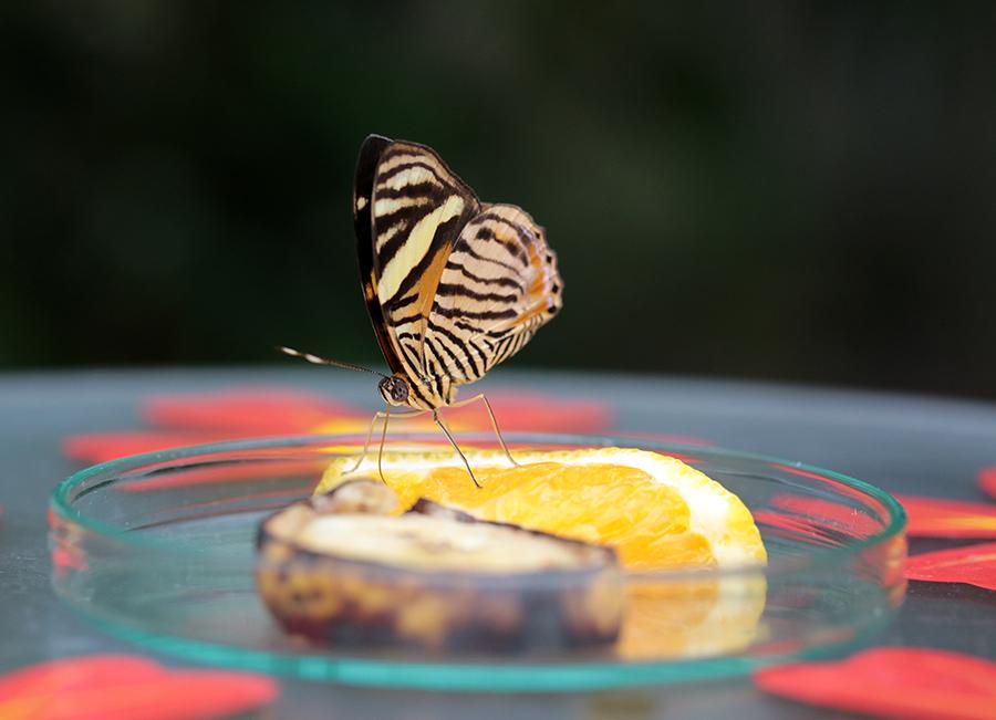 Schmetterling in der Botanika Bremen